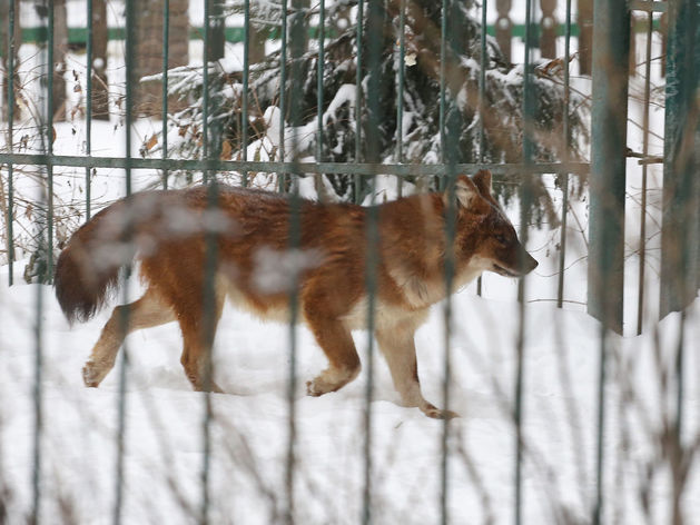 Красные волки переехали из бывшего зоопарка «Мишутка» в костромской зоопарк